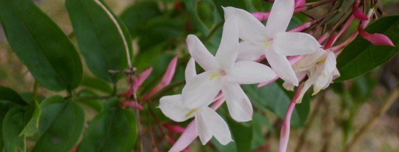 Jasminum_polyanthum_flowers